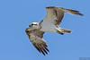 Osprey, Pandion haliaetus by Kevin B Agar