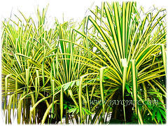 Captivating variegated foliage of Pandanus Baptistii Variegated (Gold-striped Screw Pine, Variegated Screw Pine, Compact Golden Screw Pine), 1 Aug 2009