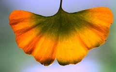 Ginkgo biloba leaf, fall(ing)