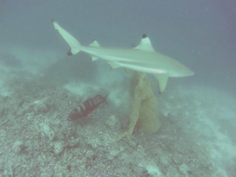 shark Bandos Maldives house reef