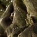 Yew | St. Thomas a Becket churchyard | Warblington-14