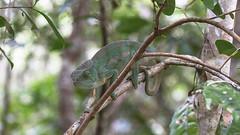 Parson's chameleon (Calumma parsonii) - Female