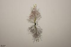 Little Tree silent