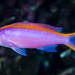 Purple Anthias, female - Pseudanthias tuka
