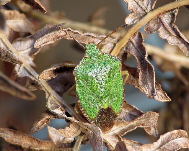 Common Green Shieldbug - Palomena prasina