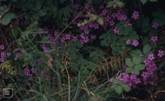 Oxalis articulata under bracken, Battery Point