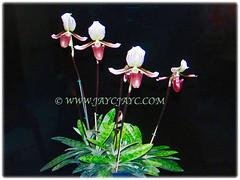 4 attractive flowers of Paphiopedilum barbatum (Slipper Orchid, Bearded Paphiopedilum, Lady's Slipper) held on long stalks, 23 Oct 2017
