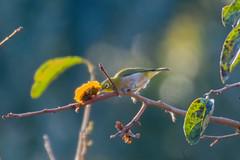柿の木にメジロ ー 鎌倉