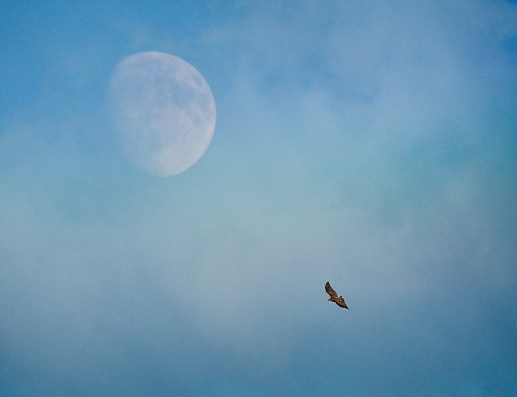 Red-tail and moon
