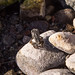 Red-spotted toad newly metamorphosed por apmckinlay