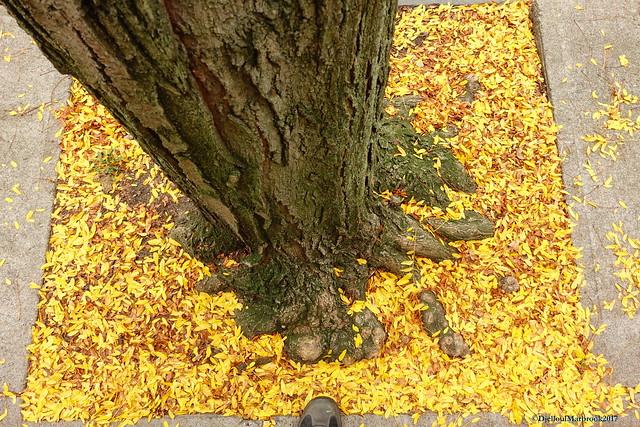 AutumnLocustLeaves