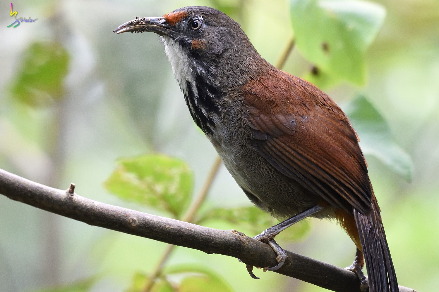 Rusty-cheeked_Scimitar_Babbler_1784