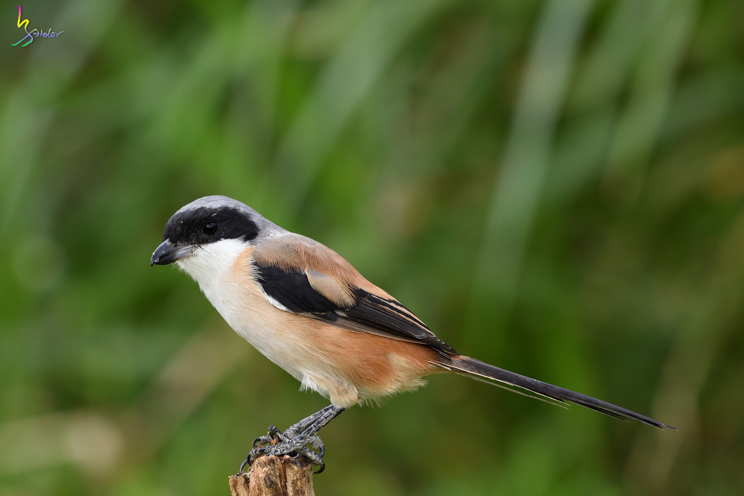 Long-tailed_Shrike_0887