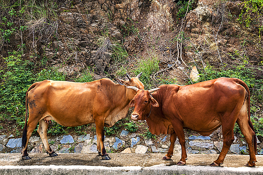 Two cows--Tan Thanh