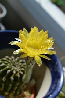DSC_6245 Echinopsis eyriesii エキノプシス 黄花短毛丸