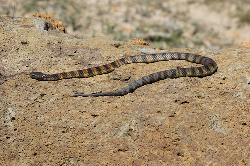 Tiger snake, Wandong State Forest