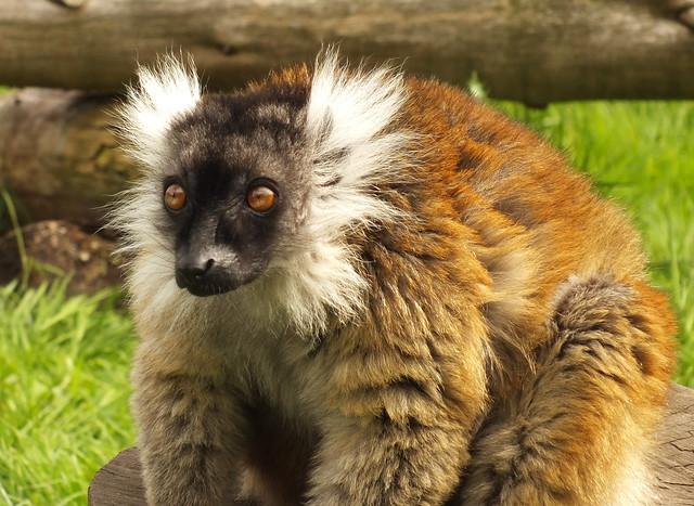 Black lemur (Eulemur macaco) female