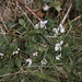 Small photo of Viola odorata. Durval Wood Dunraven. March 1983.