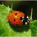 Wet Ladybird.