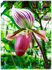 Captivating flower of Paphiopedilum barbatum (Slipper Orchid, Bearded Paphiopedilum, Lady's Slipper), 1 Aug 2009