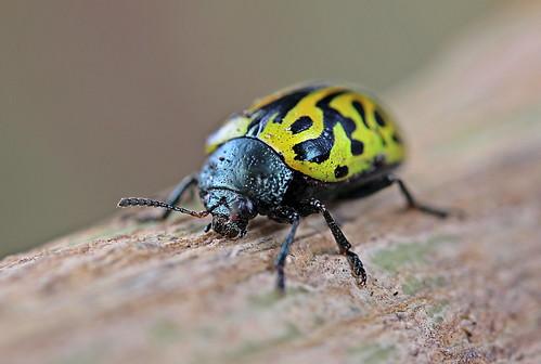 Calligrapha sp. (Coleoptera: Chrysomelidae)