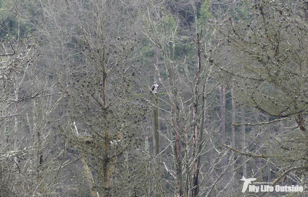 P1120482 - Osprey, Cwm Ivy