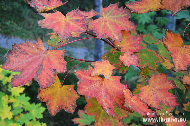 Autumn in Sweden - Big red leafs by iHanna, photo copyright by Hanna Andersson