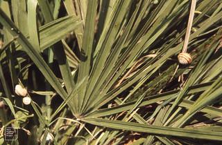 Chamaerops humilis and snails near Kenitra. 1972