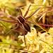 Amphibian arachnid III