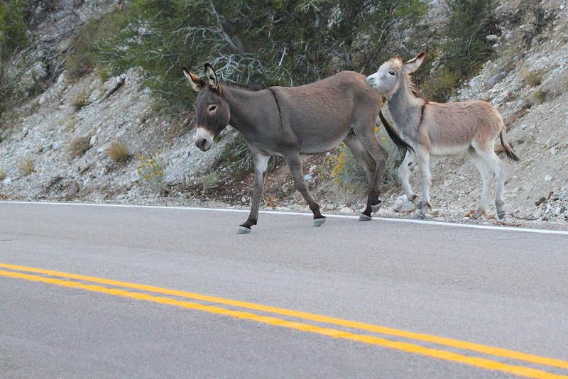 IMG_4305 Burros Crossing Road