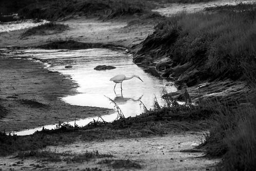 Great egret (Ardea Alba) - Près salés, Arès, France