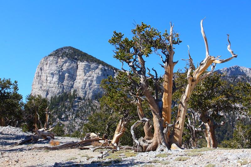 IMG_8191 Mummy's Toe and Great Basin Bristlecone Pine