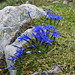 Short-leaved Gentian (Gentiana brachyphylla)