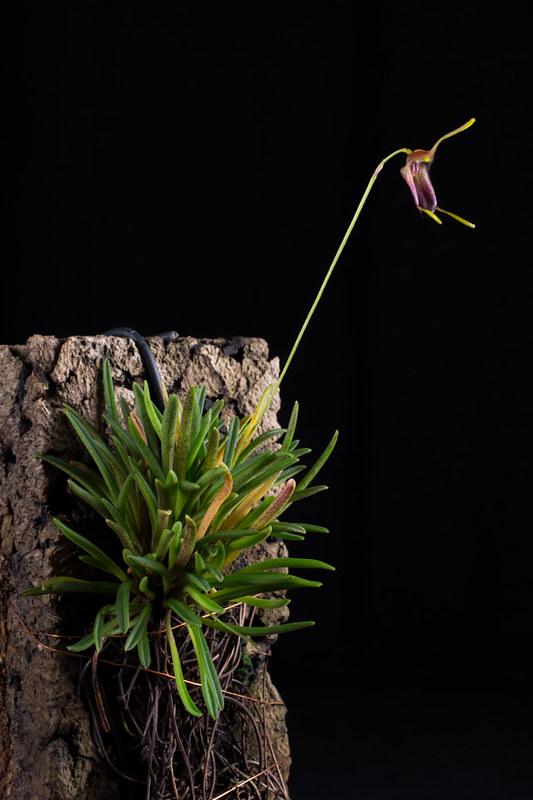 Miniatur-Orchideen Teil 4 - Seite 5 38243794821_f3a22d54de_c
