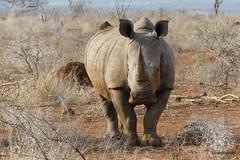 Walking with White Rhino, Mkhaya (15)