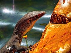 Stepping back in time, visiting Karijini National Park.  #westernaustralia #justanotherdayinwa #karijini #wa #australia #lizard #nationalpark #westoz #lizardsofig #naturephotography #wildlife #wildlifeplanet #closeup #nakedplanet #earth_shotz #lifeonearth