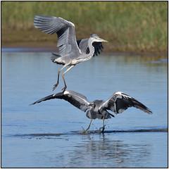 Grey Heron (image 3 of 3)