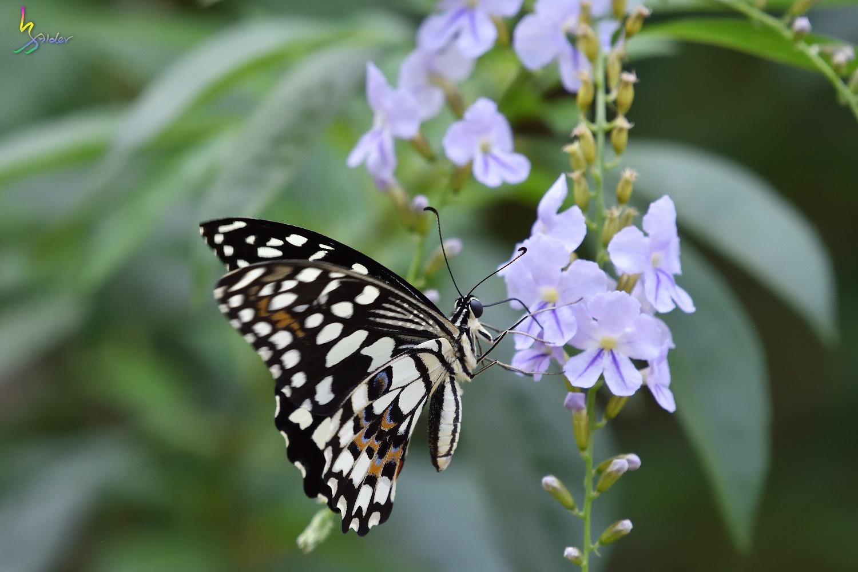 Butterfly_2526