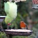 Ring necked Parakeet & Robin