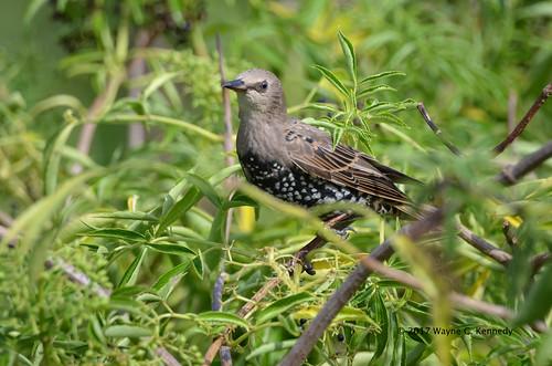 Eurasian Starling at Gatorland