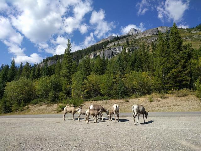 bighorn sheep and landscape