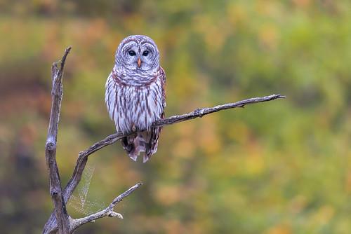 wildlife owl nature eyes apexpredator strixvaria barredowl bird raptor birdsofprey perch gillette newjersey unitedstates us nikon d800e