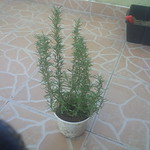 rosemary planting in Garden No 974 by w0lfvn