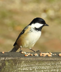 Coaltit coming to seeds in New Forest.
