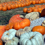 Chesterfield Valley Pumpkin Patch