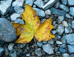 Fall-in BC Big Leaf Maple
