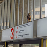 Pigeons beware!!!