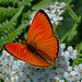 Lycaena virgaureae - the Scarce Copper (male) by BugsAlive