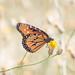 Queen butterfly por apmckinlay