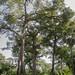 arbres sénégalais
